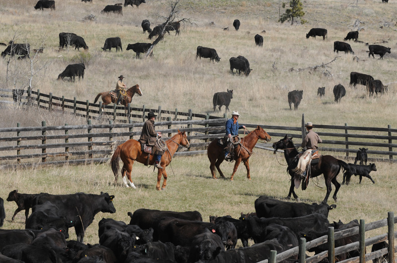 Cowboys and Cattle Merritt, BC 2014