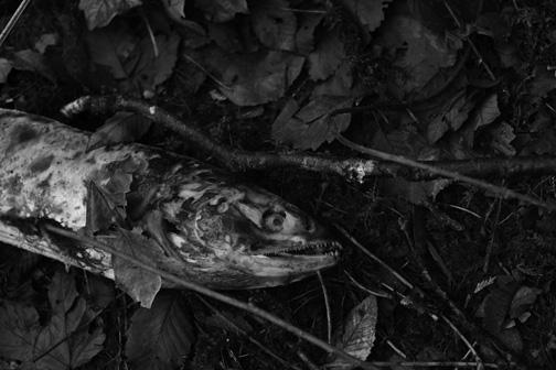 Salmon Spawning Vancouver Island 2015